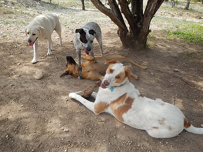 The pups are getting tired_ Merle, Molly H, Budra, Louie