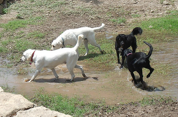 Blanco H Toby B Schatzi L and Zoey H loving the water