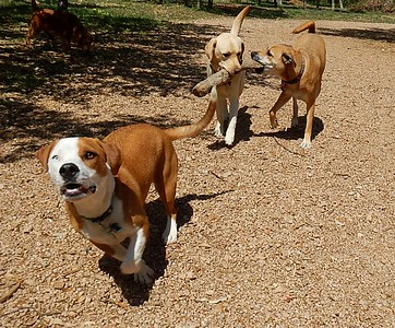 The dog ranch summed up in one picture_ Buddy F  Sophie C  Cammy , and Berkley